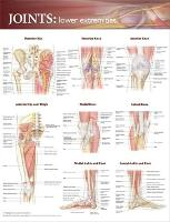 Joints of the Lower Extremities...