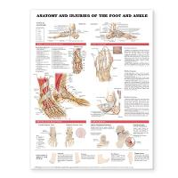 Anatomy and Injuries of the Foot and...